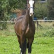 Belgian preparatory champion trot  stately posing - Stock Photo