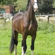 Belgian preparatory champion trot  stately posing — Foto Stock