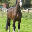 Stock Photo: Belgipreparatory champion trot stately posing