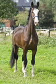 Belgian preparatory champion trot stately posing — Stock Photo