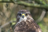 As a birdwatcher it is a pleasure to see a Eurasian buzzard — Stock Photo
