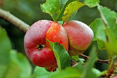 Apple on the branch — Stock Photo