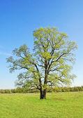 árbol de roble primavera — Foto de Stock