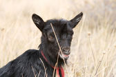 Black kid goats on in steppe in the summer — Stock Photo