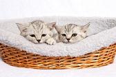 イギリスの子猫 — ストック写真