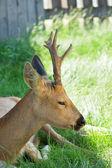 Hermoso ciervo closeup — Foto de Stock