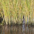 Stock Photo: Green reeds reflected in river