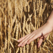 Woman's hand stroking the stems of wheat — Stock Photo #7123066