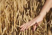 Hand van de vrouw strelen van de stammen van tarwe — Stockfoto