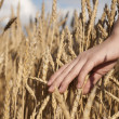 Woman's hand stroking the stems of wheat — Photo