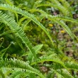 Fern — Stock Photo #7292866