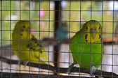 Parrot in a cage — Stock Photo