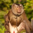 Trained monkey — Stockfoto #7665525