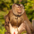 Foto Stock: Trained monkey