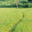 Rice field - Foto Stock