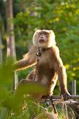 Trained monkey — Stock Photo