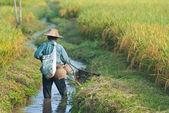 Farmer in rice field — Stock Photo