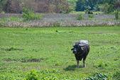 Erwachsene büffel — Stockfoto
