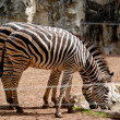 Stock Photo: Zebrin zoo