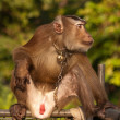 Thai monkey — Stock Photo