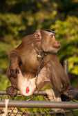 Thai monkey — Foto Stock