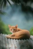 Gatto Thai — Foto Stock