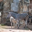 Zebra — Stock Photo #7806490