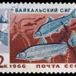 Stock Photo: Postal stamp. Baltic whitefish, 1966