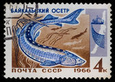 Postal stamp. Baikal sturgeon, 1966 — Stock Photo