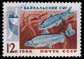 Postal stamp. Baltic whitefish, 1966 — Stock Photo