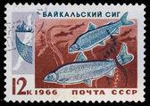 Postal stamp. Baltic whitefish, 1966 — Photo