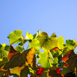 Stock Photo: Vineyard Leaves