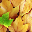 Dry Fall Leaves — Stock Photo