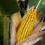 Corn Cob — Stock Photo #7478481
