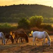 Pasturing horses - Stock Photo