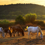 Pasturing horses — Stock Photo #7478484