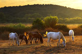 Pasturing horses — Stock Photo