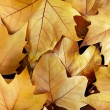 Dry Fall Leaves - Stock Photo
