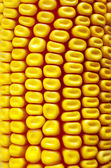 Background Corn — Stock Photo