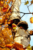 Wood mushroom on a birch. — Stock Photo