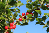 Red ripe cherry on a branch. — Stock Photo