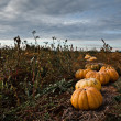 Pumpkins Field — Stock Photo #7348222