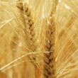 Summer Wheat — Stock Photo #7348488