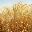 Summer Wheat — Stock Photo #7348691