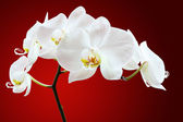 Orchid against red — Stock Photo