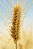 Summer Wheat — Stock Photo