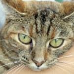 Tabby cat — Stock Photo