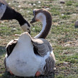 Stock Photo: Geese on land