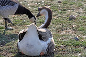Geese on land — Stock Photo