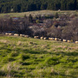 Flock of sheep at pasture - Stock Photo